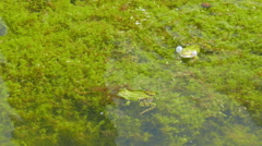 Stock Video Footage of The edible frog. Rana esculenta. Common water frog. Green frog