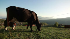 Cow in the meadow Stock Footage