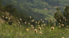 Clover swinging in the wind - stock footage