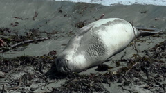 Elephant Seal Sunning Belly California Beach 60p Stock Footage