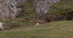 Arctic Bunting Female Moving across Arctic Island Stock Footage