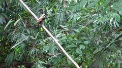 A Broadbill on a tree branch in the jungle Stock Footage