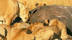 Pride of lions eating a pray in Masai Mara Stock Footage
