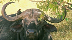 Buffalo eating grass, Baringo Park Stock Footage