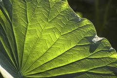 Stock Photo of Lotus leaf