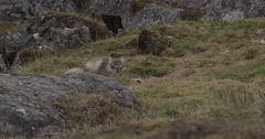 Arctic Fox Kit defecates behind a boulder Stock Footage