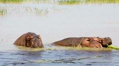 Two hippopotamuses in Lake Baringo Stock Footage