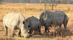 White Rhinos in Nakuru Park - stock footage