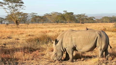 White rhinos in Nakuru Park in Kenya during the dry season - stock footage