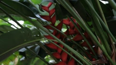 Heliconia Lady di Plant Stock Footage