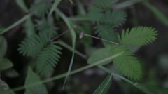 Touch Me Not Plant - Mimosa Pudica Stock Footage