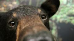Black Bear Sniffs Camera Cumberland Gap - stock footage