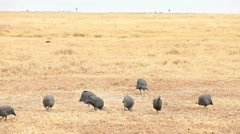 Helmeted Guinea Fowls, Nakuru Park Stock Footage