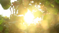 Sun rays and green bush - stock footage