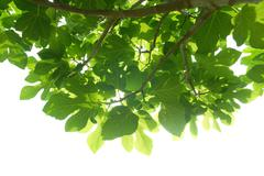 Green fig-tree leaves with branch - stock photo