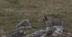 Stock Video Footage of Arctic Fox Runs Across a Grass and Rock Flat