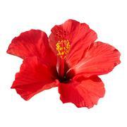 Hibiscus rosa sinensis - stock photo