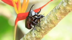 Breeding of Rhinoceros beetle in the breeding season Stock Footage