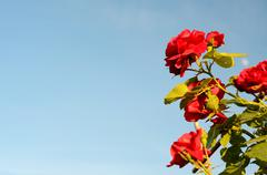 Bush roses against the sky (natural background for greeting cards) - stock photo
