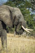 African bush elephant (Loxodonta africana), Liwonde National Park, Malawi, - stock photo
