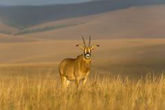 Roan antelope (Hippotragus equinus), Nyika National Park, Malawi, Africa Stock Photos
