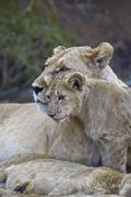Lion (Panthera leo) female and cub, Ngorongoro Crater, Tanzania, East Africa, Kuvituskuvat