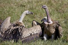 Ruppells griffon vultures (Gyps rueppellii), Ngorongoro Crater, Tanzania, East Kuvituskuvat