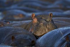Hippopotamus (Hippopotamus amphibius), Serengeti National Park, Tanzania, East - stock photo
