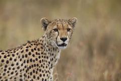 Cheetah (Acinonyx jubatus), Serengeti National Park, Tanzania, East Africa, - stock photo