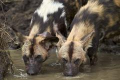 Two African wild dogs (African hunting dog) (Cape hunting dog) (Lycaon pictus) - stock photo