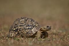 Leopard tortoise (Geochelone pardalis), Ngorongoro Conservation Area, Serengeti, - stock photo