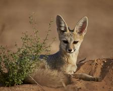 Cape fox (Cama fox) (silver-backed fox) (Vulpes chama), Kgalagadi Transfrontier Stock Photos