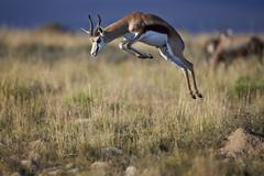 Springbok (Antidorcas marsupialis) buck springing or jumping, Mountain Zebra Stock Photos