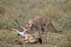 Male cheetah (Acinonyx jubatus) killing a newborn blue wildebeest (brindled gnu) Kuvituskuvat