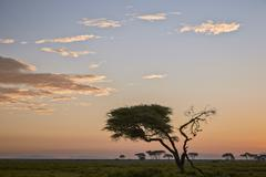 Acacia tree and clouds at dawn, Ngorongoro Conservation Area, UNESCO World - stock photo