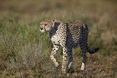 Cheetah (Acinonyx jubatus), Ngorongoro Conservation Area, UNESCO World Heritage Stock Photos