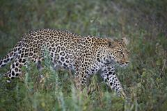Leopard (Panthera pardus), Ngorongoro Conservation Area, UNESCO World Heritage Stock Photos