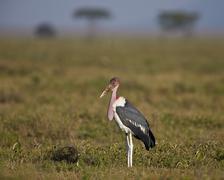 Marabou stork (Leptoptilos crumeniferus), Ngorongoro Conservation Area, UNESCO - stock photo