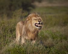 Lion (Panthera leo) demonstrating the flehmen response, Ngorongoro Conservation - stock photo