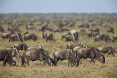 Blue wildebeest (brindled gnu) (Connochaetes taurinus) herd, Ngorongoro Stock Photos
