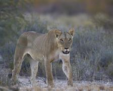 Lioness (Panthera leo), Kgalagadi Transfrontier Park encompassing the former - stock photo