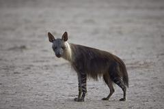 Brown hyena (Hyaena brunnea) (formerly Parahyaena brunnea), Kgalagadi Stock Photos
