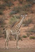 Cape giraffe (Giraffa camelopardalis giraffa), Kgalagadi Transfrontier Park - stock photo