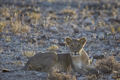 Lion (Panthera leo), immature, Kgalagadi Transfrontier Park encompassing the - stock photo