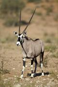 Gemsbok (South African oryx) (Oryx gazella), Kgalagadi Transfrontier Park - stock photo