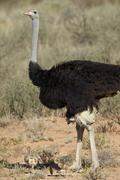 Common ostrich (Struthio camelus) male with two chicks, Kgalagadi Transfrontier Stock Photos