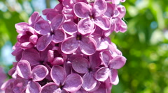 Lilac. Syringa vulgaris Stock Footage