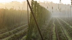 Detail of hop field Stock Footage