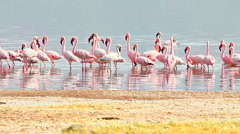 Flamingos near Bogoria Lake, Kenya Stock Footage