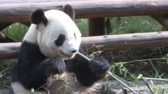 Giant panda eating bamboo, Chengdu, China - stock footage